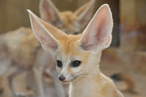 Are Fennecs Foxes?